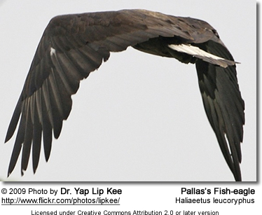 Pallas's Fish-eagle (Haliaeetus leucoryphus[2]), also known as Pallas's Sea-eagle or Band-Tailed Fish-eagle in flight