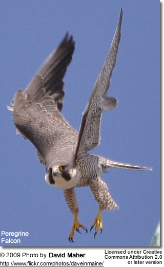 Flying Peregrine Falcon