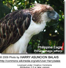 Philippine Eagle, Pithecophaga jefferyi, also known as the Great Philippine Eagle or Monkey-eating Eagle