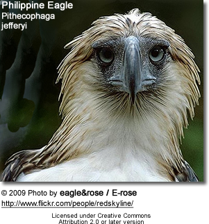 Philippine Eagle, Pithecophaga jefferyi