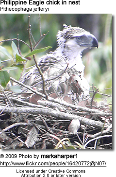 Philippine Eagle chick in nest