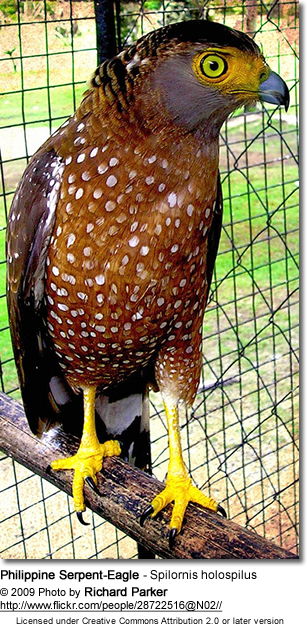 Philippine Serpent-Eagle - Spilornis holospilus