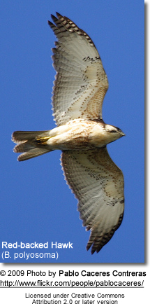 Red-backed Hawk