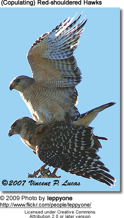 Red-shouldered Hawks Pair Copulating