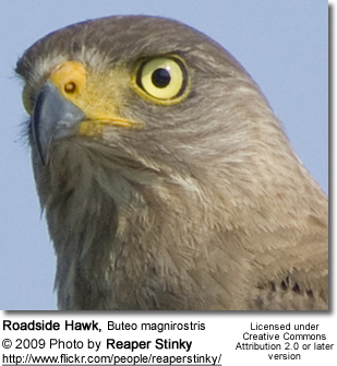 Roadside Hawk - Head Details