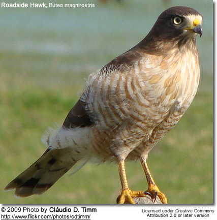 Roadside Hawk, Buteo magnirostris