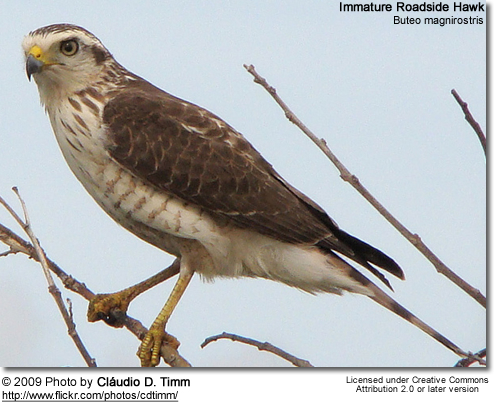 Immature Roadside Hawk