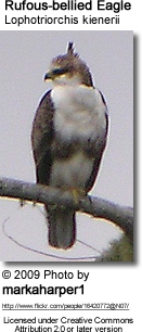 Rufous-bellied Eagle (Lophotriorchis kienerii