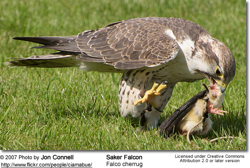 Saker Falcon with prey