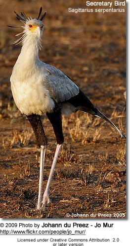 Secretary Bird or Secretarybird, Sagittarius serpentarius