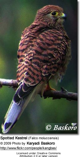 Spotted Kestrel (Falco moluccensis)