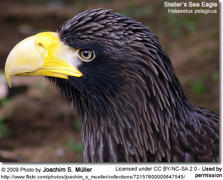 Steller's Sea Eagle profile