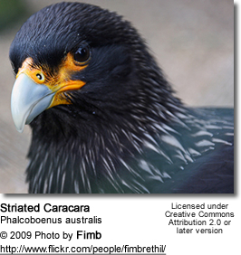 Striated Caracara, (Phalcoboenus australis) - head detail