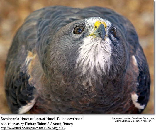 Swainson's Hawk - Injured