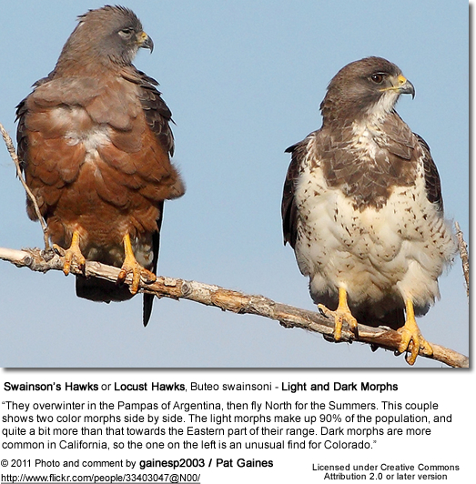 Swainson's Hawks or Locust Hawks, Buteo swainsoni - Light and Dark Morphs