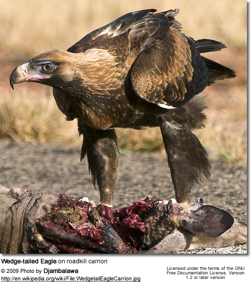 Wedge-tailed Eagle on roadkill carrion