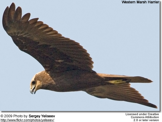 Western March Harrier