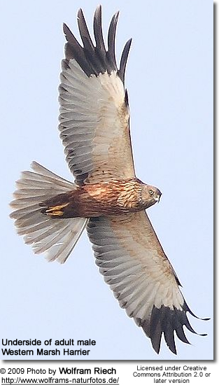 Male Western Marsh Harrier