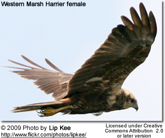 Western Marsh Harrier female