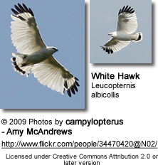 White Hawks in flight