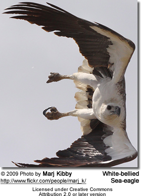 White-bellied Sea Eagle (Haliaeetus leucogaster) and also known as the White-bellied Fish-Eagle or White-breasted Sea Eagle