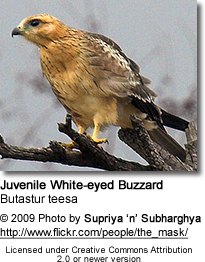 Juvenile White-eyed Buzzard