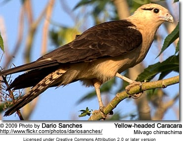 Yellow-headed Caracara, Milvago chimachima