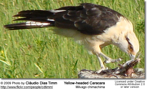 Yellow-headed Caracara, Milvago chimachima feeding