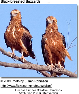 Black-breasted Buzzards - Pair