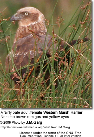 female Western Marsh Harrier