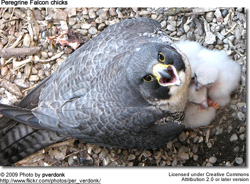 Peregrine Falcon parent with 1-week old chicks