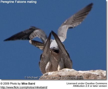 Mating Peregrine Falcon pair