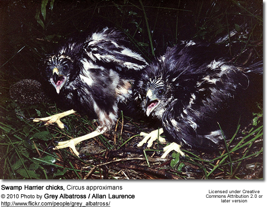 Swamp Harrier chicks, Circus approximans