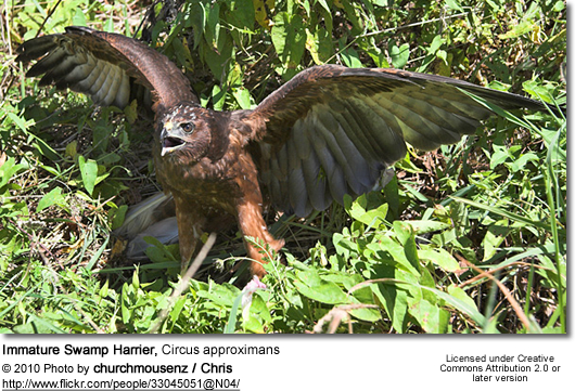 Immature Swamp Harrier, Circus approximans