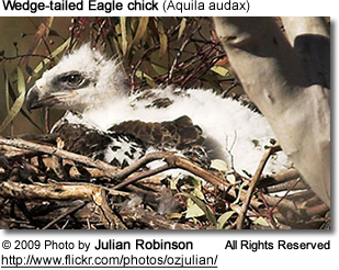 Wedge-tailed Eagle chick (Aquila audax)
