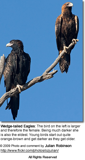 Wedge-tailed Eagle or Eaglehawk (Aquila audax)