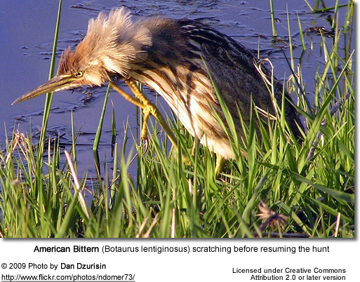 American Bittern with an itch