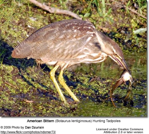 Ameican Bittern foraging for food