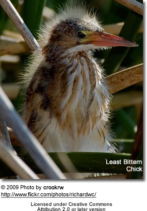 A younger Least Bittern Chick