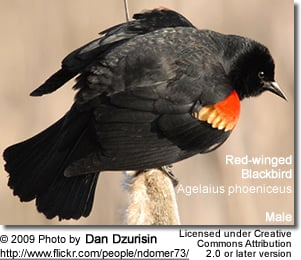 Red-wing Blackbird Male