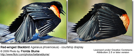 Red-winged Blackbird courtship display