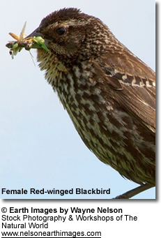 Female Red-sided Blackbird