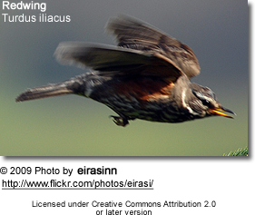 Redwing in flight