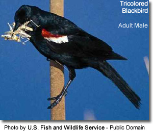 Tricolored Blackbird with insect in its beak