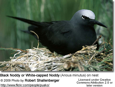 Black Noddy or White-capped Noddy (Anous minutus) on nest