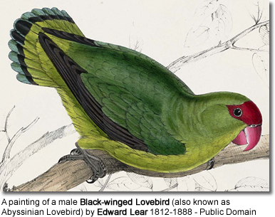 "A painting of a male Black-winged Lovebird (also known as Abyssinian Lovebird) (originally captioned ""Psittacula taranta. Abyssinian parrakeet"") by Edward Lear 1812-1888."