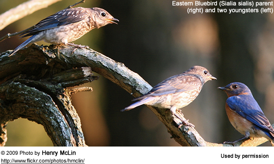 Eastern Bluebird Family (one parent and 2 immatures)