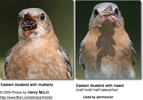 Eastern Bluebirds eating berries and insects