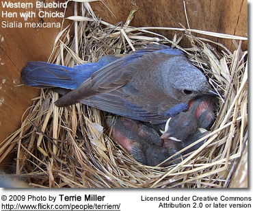Western Bluebird Hen with chicks