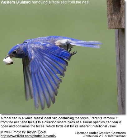 Western Bluebird removing a fecal sac from the nest.